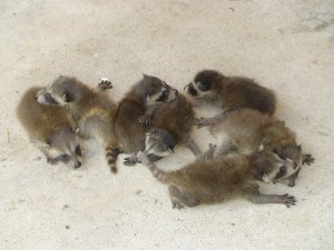Baby raccoons, or baby kits.
