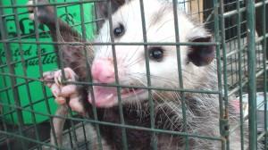 Opossum in cage trap