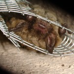 Brown Bat exiting a one way door